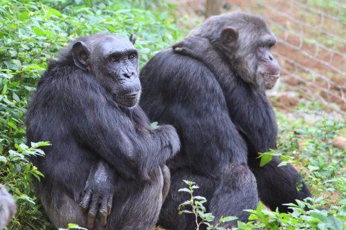 Rescued Chimps in Africa