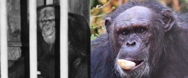 Saving Africa's Great Apes, New York City, May 2nd!